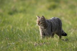 Chat forestier - © David Meier